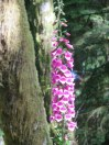 Digitalis, or foxglove, grows everywhere in the woods. Deer do not eat it or there would be none.