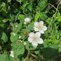 From the look of the blossoms there will be abundant blackberries this year!